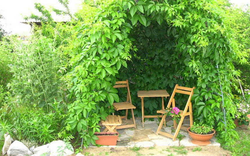 Выращивание девичьего винограда в саду