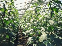 Правила выращивания огурцов в теплице