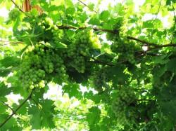 Посадка винограда на даче