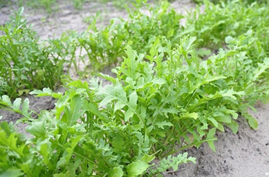 Выращивание салата рукола