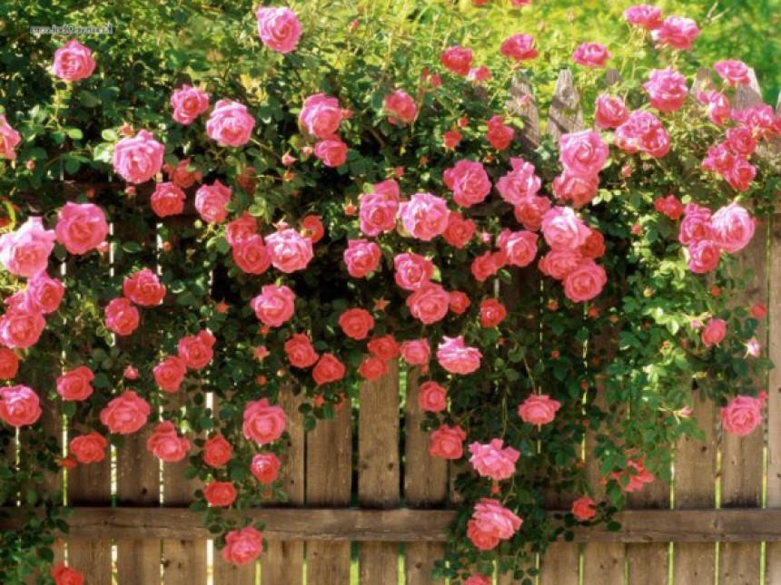 Сорта роз для посадки в саду на даче