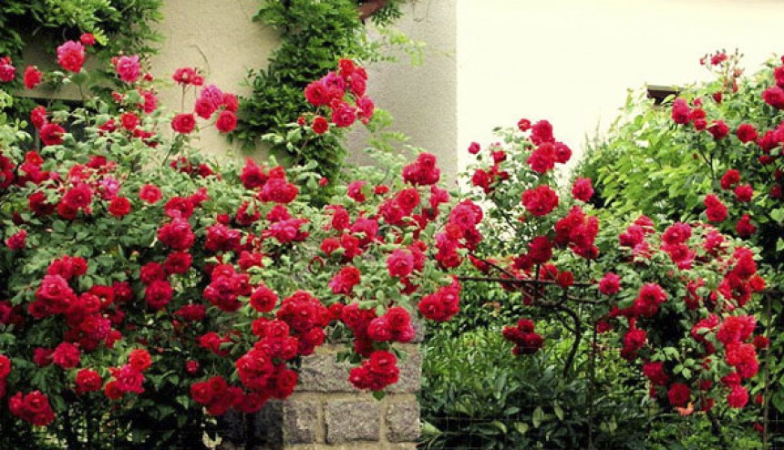 Выращивание роз и уход за ними